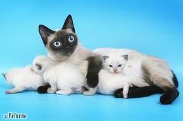 Фото породы кошек выставки кошек фото