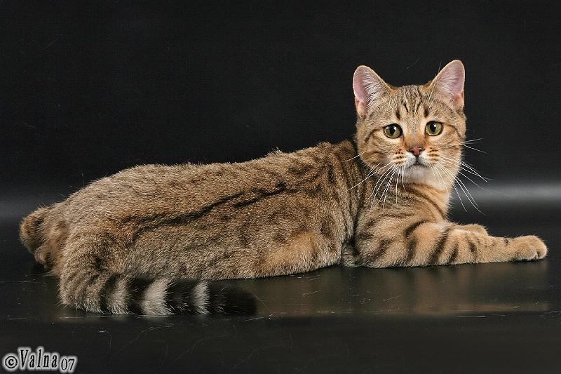 породы с картинками котов